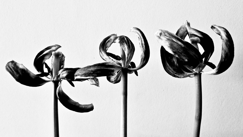 Alan Humphries: tulips